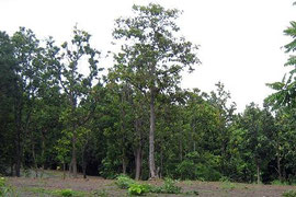Dipterocarp forest in Chiang Mai Province Thailand