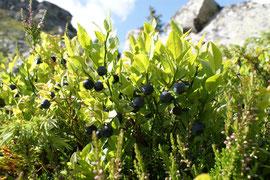 Heidelbeerstrauch mit Beeren