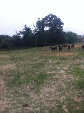 Vaches Landaise au Vert Galant