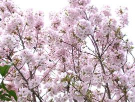 Takano's Sakura'2012