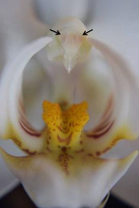 Frontalansicht einer Phalaenopsis Blüte. Die Pfeile makieren die beiden Pollinien, welche unter der Antherenklappe gelblich durchscheinen.