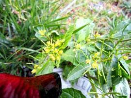 こっちは黄色の花