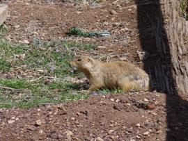 chien de prairie ... dans une prairie