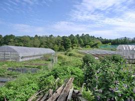 奥の畑にバターナッツパンプキンを植えました