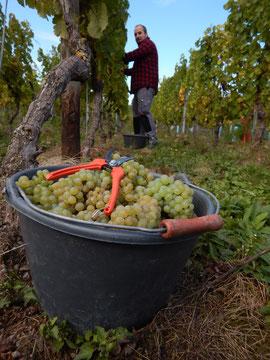 Wiltinger Wein, Saar-Riesling-Roots, Weingut Felix Weber, Saarweingut, Mosel, Bereich Saar
