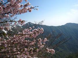 ▲満開の山桜と後ろには小朝日岳。8合目以降では山桜の道になっていました。