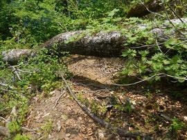 ▲4合目と3合目の間に大きなブナの倒木があります。下をくぐるなどして通る必要があります。