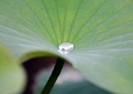 Lotuseffekt von Pflanzen