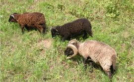 Oussant Schafe im Waldkindergarten