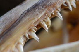 Scharfe Zähne eines Dorsches. © Robert Hansen, Ballstad, April 2014