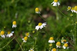Römische Kamille, Blütenköpfe: ätherische Öle gegen Menstruationsbeschwerden, Aufguss wirkt entzündungshemmend