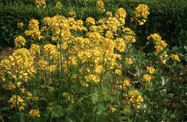 Senf: pikantes Gewürzkraut, seit Columellas Rezept im 1.Jhd. begehrt. Medizinalpflanze: entzündungshemmende Senfumschläge