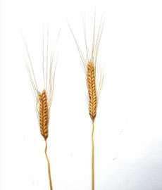 Einkorn: Getreidepflanze aus der Bandkeramischen Zeit (5600 - 5000 v.Chr.), enthält Aminosäuren und Beta-Carotin