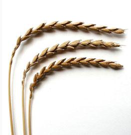 Dinkel: Getreidepflanze aus dem Alpenraum, seit der Jungsteinzeit (5800 - 4000 v. Chr.) bekannt, auch Spelz oder Weichweizen genannt