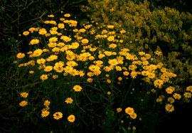 Färbekamille: die Blütenkörbe geben Wolle, Leinen und Hanf eine lichtechte, kräftige, warme Gelbfarbe