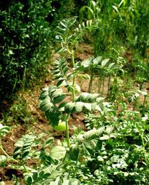 Kichererbsen: Mineralstoffhaltige Hülsenfrüchte für eine ballaststoffreiche Ernährung
