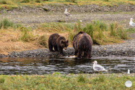 "Bild: female bear and her cubs eating the caught salmon, Pack Creek, Admiralty Island, Alaska, ""mother has catched the fish""; www.2u-pictureworld.de"