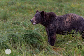 "Bild: a grizzly bear is eating grass, Pack Creek, Admiralty Island, Alaska, ""grizzly grass meal""; www.2u-pictureworld.de"