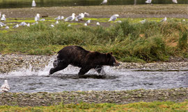 "Bild: female bear hunting at Pack Creek, Admiralty Island, Alaska, ""bear on the run""; www.2u-pictureworld.de"