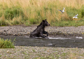 "Bild: female bear and seagulls at Pack Creek, Admiralty Island, Alaska, ""female bear and seagulls on the hunt""; www.2u-pictureworld.de"