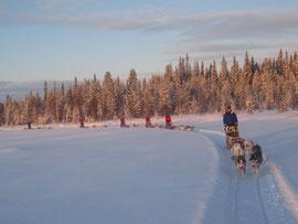 Lappland  auf  dem Hundegespann geniessen!