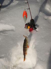ein Barsch  beim Eisangeln
