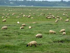 les moutons de la baie
