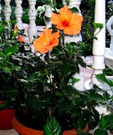Гибискус оранжевый