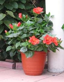 Гибискус (Китайская роза) красный