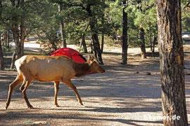 Morgendlicher Besuch von den Wapiti-Hirschen