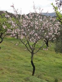 Blühendes Mandelbäumchen
