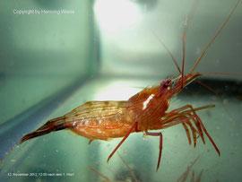 Lysmata boggessi Weibchen nach dem 1. Wurf