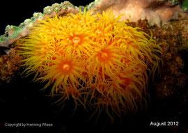 Tubastraea faulkneri - Orange-gelbe Kelchkoralle