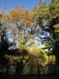 Herbstfärbung der Eichen
