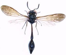 Male of Eustenogaster nigra Saito & Nguyen, 2006