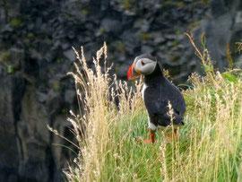 Papageientaucher, Island