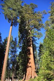 GENERAL - GRANT - TREE