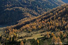 i colori dei Larici in autunno, un quadro dipinto dalla Natura