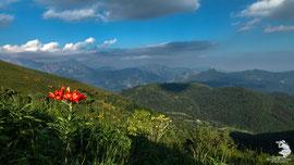 Lungo il sentiero che porta su al San Primo - Fiore rosso: Giglio selvatico (Lilium bulbiferum)