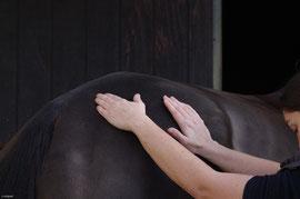 Massage des postérieurs du cheval