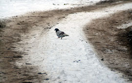 Marooned racing pigeon trying to make it through