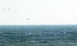 Gannet diving for sprats