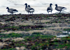 Five Dark-bellied Brent Goose whick breeds along the Arctic coasts of the Yamal, Gydan and Taimyr Peninsulas (Thanks to Tony Morris)