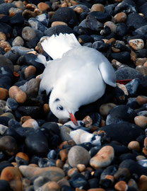 Dying black-headed gull in the Bay: it seemed so pure, so clean as death stole up on it.