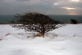 Cliff top Hawthorn