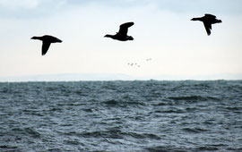 Just three of the Dark-Bellied Brent Geese left in the Bay - France and another flock of birds in the background