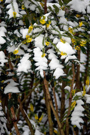 Mahonia in the Pines Gardens