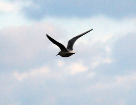 Live Black-headed gull