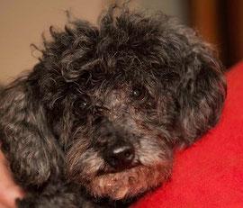 ROCKY, Zwergpudel-Opi, 12 Jahre alt, Frauchen ist verstorben hat ein Zuhause gefunden