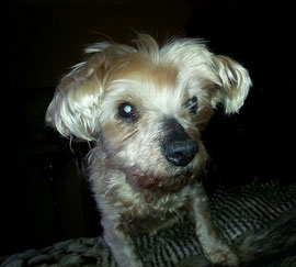 KIMBERLY, blindes Yorkie-Mädchen